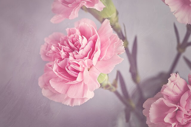 carnation-1323882_640