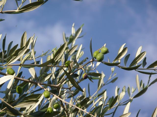 olive-tree-2092564_640